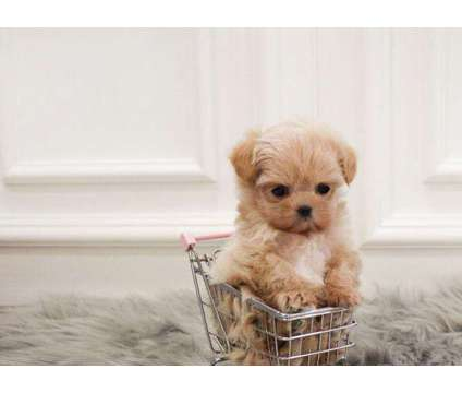 SYU- Male And Females Maltipoo Puppies Available is a Female, Male Malti-Poo For Sale in Quebec QC