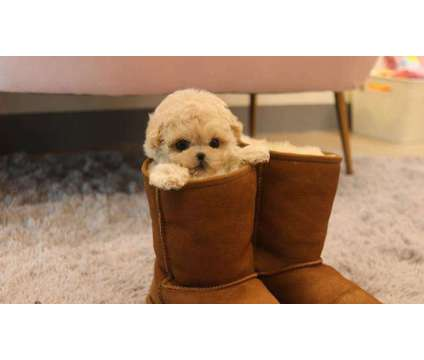 DC- Male And Females Maltipoo Puppies Available is a Female, Male Malti-Poo For Sale in Thunder Bay ON