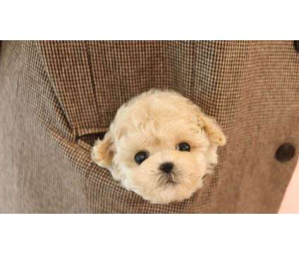 CK- Male And Females Maltipoo Puppies Available is a Female, Male Malti-Poo For Sale in Toronto ON