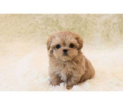 SM- Male And Females Maltipoo Puppies Available is a Female, Male Malti-Poo For Sale in Oshawa ON