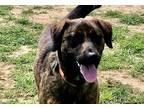 Adopt Rascal Fats~adopted! a Brindle Dutch Shepherd / Mountain Cur / Mixed dog