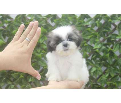 ZIY- Male And Female Shih Tzu Puppies,Available is a Female, Male Shih-Tzu For Sale in Oshawa ON