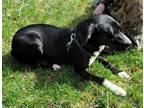 Adopt Rosie A Labrador Retriever / Collie / Mixed Dog In Thompson Falls
