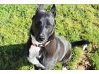 Adopt *CONALL a Black - with White German Shepherd Dog / Mixed dog in Modesto
