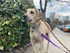 Adopt Cheddar a Tan/Yellow/Fawn Labrador Retriever / Beagle / Mixed dog in