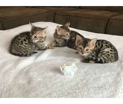 EP- Male And Female Bengal and Savannah Kittens Available is a Female, Male Bengal Young For Sale in Toronto ON