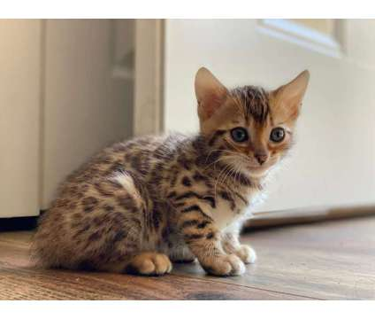 WR- Male And Female Bengal and Savannah Kittens Available is a Female, Male Bengal Young For Sale in Ottawa ON