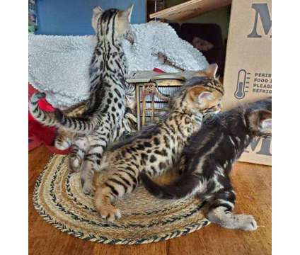 CAM- Male And Female Bengal and Savannah Kittens Available is a Female, Male Bengal Young For Sale in Oshawa ON