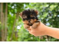 SBS- Male And Females Yorkshire Terrier Puppies Available