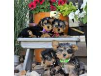 AGT- Male And Females Yorkshire Terrier Puppies Available