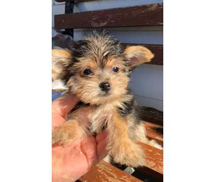 SUPER Male And Females Yorkshire Terrier Puppies Available is a Female, Male Yorkshire Terrier For Sale in Oshawa ON