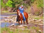 Super Broke Quiet Gentle Patient Trail and Ranch horse