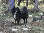 Adopt Gurr *pending Adoption* a Papillon / Pomeranian / Mixed dog in Kelowna