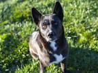 Adopt DAISY A Black Australian Kelpie / Border Collie / Mixed Dog In Diamond
