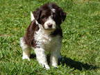 Border Collie Puppy for sale in Unknown, , USA