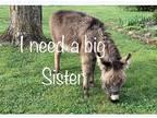 ISO Mini Donkey