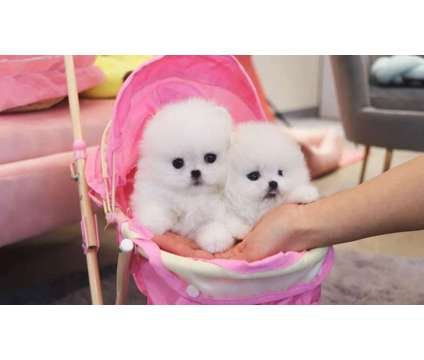 LT- Male And Females Pomeranian Puppies Available is a Female, Male Pomeranian For Sale in Oshawa ON