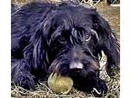 Adopt MD-BELLE ADOPTED! a Labradoodle