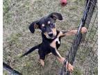 Adopt Garner a Black Shepherd (Unknown Type) / Black and Tan Coonhound / Mixed