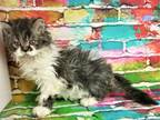 Selkirk Rex X Persian Male AVAILABLE For Discount