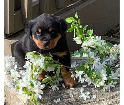 BJN- Male And Females Rottweiler Puppies Available is a Female, Male Rottweiler For Sale in Oshawa ON
