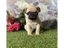 ETN- Male And Females Pug Puppies Available