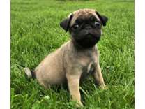 CTT- Male And Females Pug Puppies Available