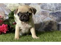 SLC- Male And Females Pug Puppies Available