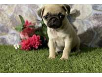 WWP- Male And Females Pug Puppies Available