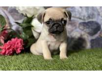 YDE- Male And Females Pug Puppies Available