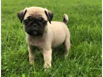 HSS- Male And Females Pug Puppies Available