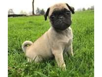 CNA- Male And Females Pug Puppies Available