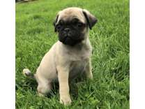 CGG- Male And Females Pug Puppies Available