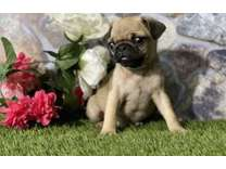 PAU- Male And Females Pug Puppies Available