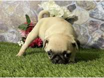 AOU- Male And Females Pug Puppies Available