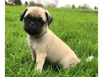 SNS- Male And Females Pug Puppies Available
