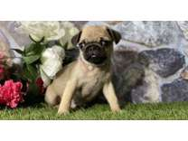CEO- Male And Females Pug Puppies Available
