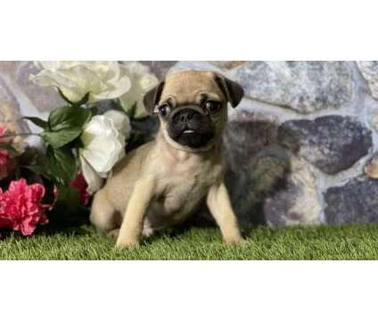 CEO- Male And Females Pug Puppies Available is a Female, Male Pug For Sale in Iqaluit NU