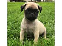 EOS- Male And Females Pug Puppies Available