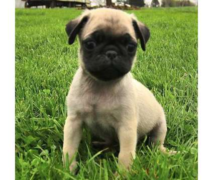 EOS- Male And Females Pug Puppies Available is a Female, Male Pug For Sale in Charlottetown PE