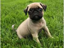 CKK- Male And Females Pug Puppies Available