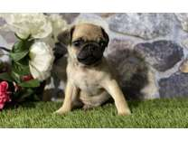 URE- Male And Females Pug Puppies Available