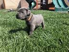 Cane Corso Puppy for sale in Lakewood, CA, USA