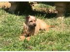 Adopt Tonya a Border Terrier, Cairn Terrier