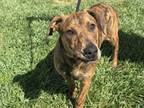 Adopt MAE a Pit Bull Terrier, Plott Hound