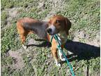 Adopt MOONEY a Foxhound, Mixed Breed