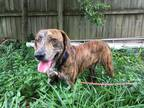 Adopt Roscoe a Brindle Plott Hound / Mixed dog in North Little Rock