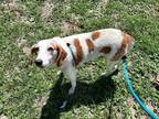 Adopt GLORIA a White - with Tan, Yellow or Fawn Treeing Walker Coonhound / Mixed