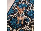 Adopt Junior a Tricolor (Tan/Brown & Black & White) Rat Terrier / Poodle