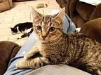 Amy, Domestic Shorthair For Adoption In Yuba City, California